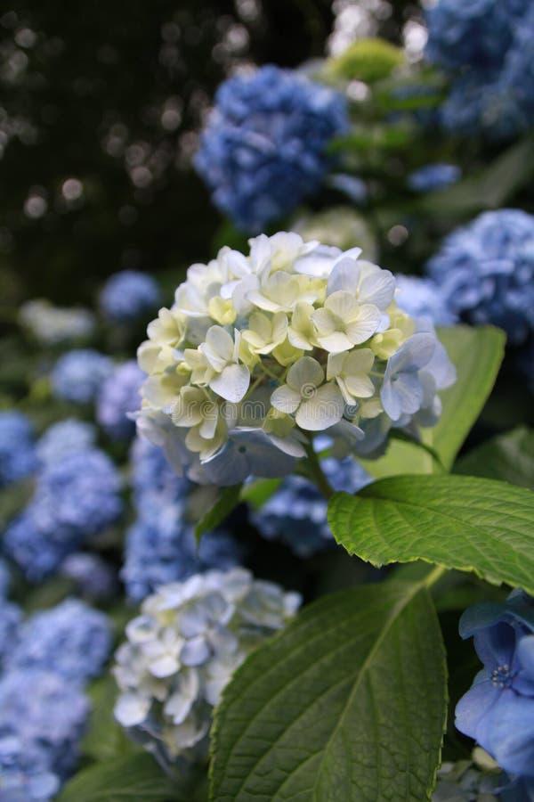 Flower, Blue, Plant, Hydrangea Free Public Domain Cc0 Image