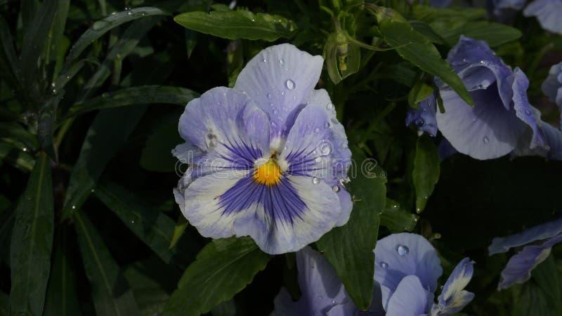 Pansy blue purple white flower wet water drops. Flower blue purple white pansy water drops wet summer garden stock photos