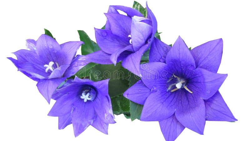 Flower, Blue, Violet, Plant stock photos