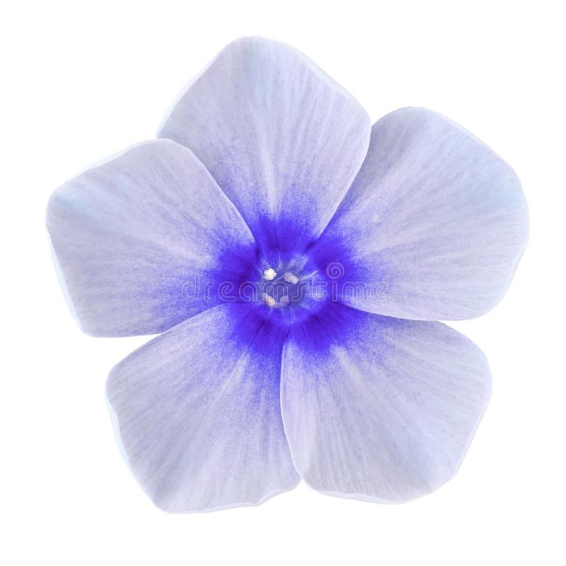 Flower blue white phlox isolated on white background. Close-up. Element of design royalty free stock images