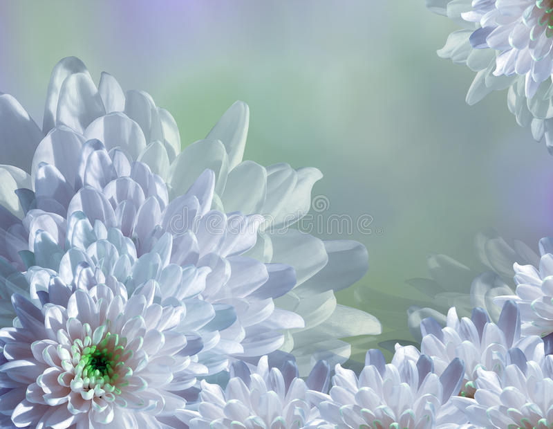 Flower on blurry turquoise-blue-green background halftone. Blue-white flowers chrysanthemum. floral collage. Flower composition royalty free illustration