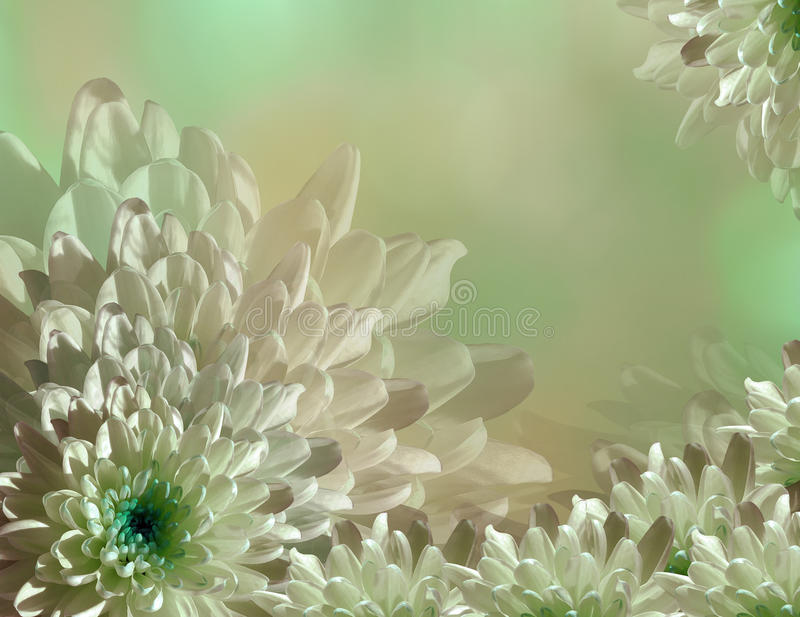 Flower on blurry turquoise-green-pink background halftone. Blue-white flowers chrysanthemum. floral collage. Flower composition stock photos