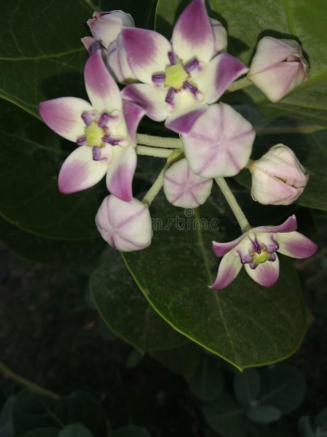 Flower of bon tree stock photos
