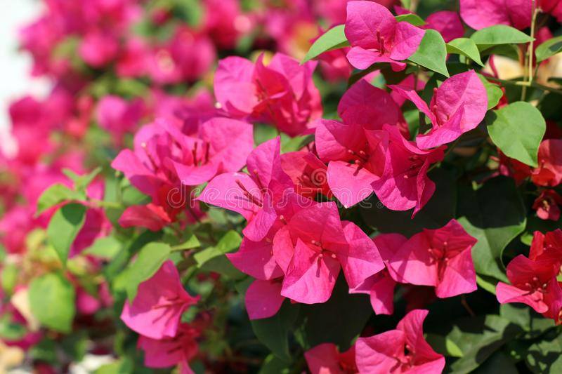 Bougainvillea flower for background pink purple red selective focus stock image