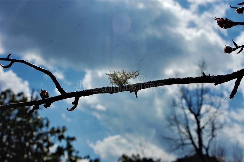 Flower on Branch of Tree showing oldness. With Sky on its background. Looking so pretty stock photos
