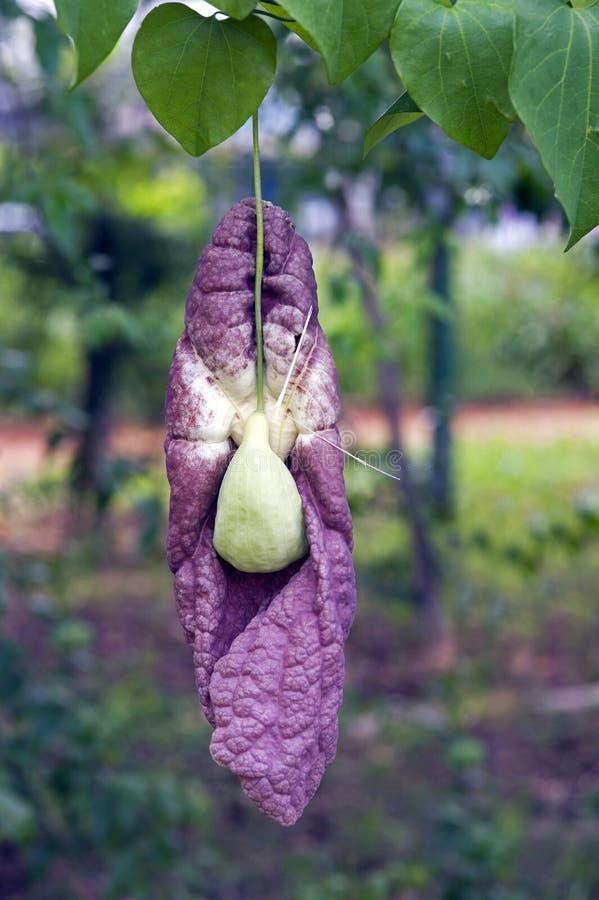 Flower Brazilian dutchman's pipe royalty free stock image