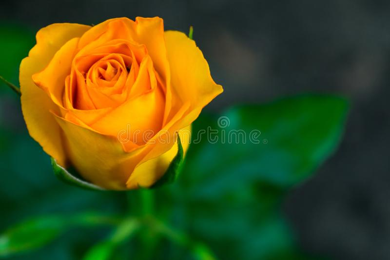 Flower bright yellow roses in the garden. stock photo