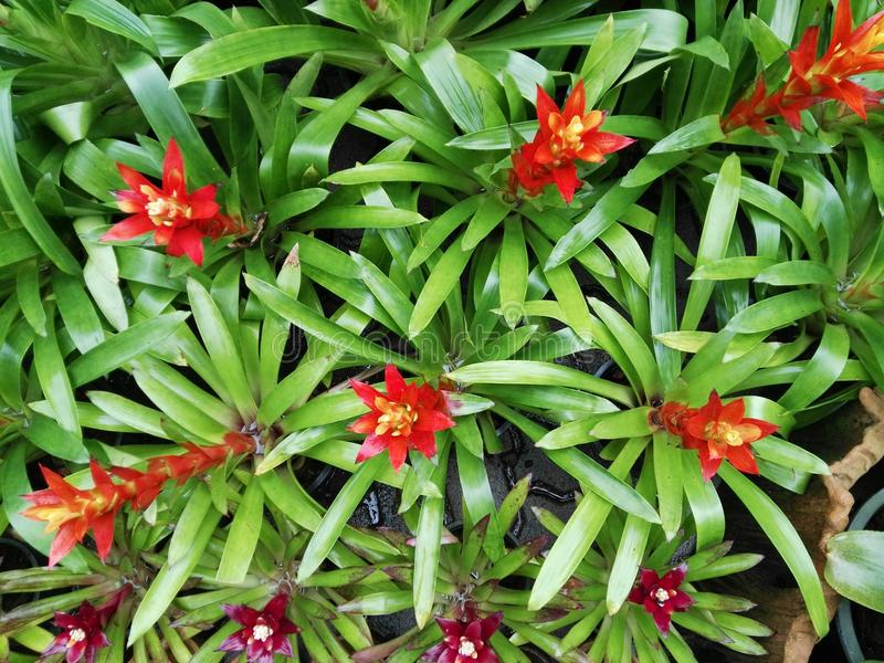 Flower of Bromeliad stock photos