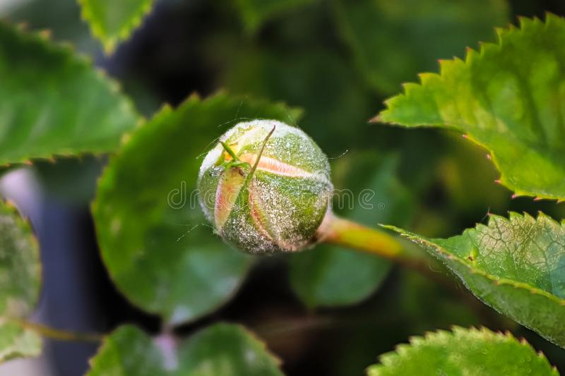 A flower bud being destroyed by powdery mildew.  stock photo