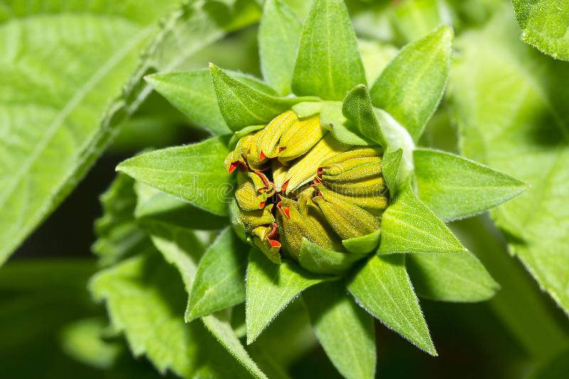 Flower bud in the garden. Is a flowering plant in the genus Dahlia royalty free stock photos