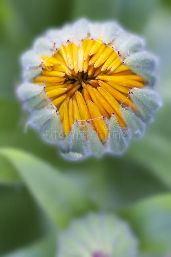 Flower bud macro view. Yellow petals about to open. stock photos