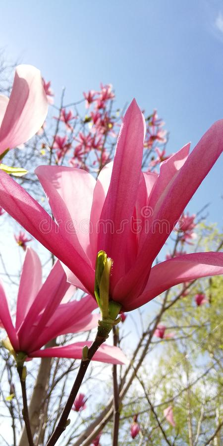 A flower bud of a pink magnolia of an unusual form against a background of spring trees and  the blue sky. Background royalty free stock photos