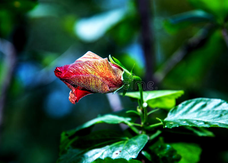 Flower bud red hibiscus royalty free stock image