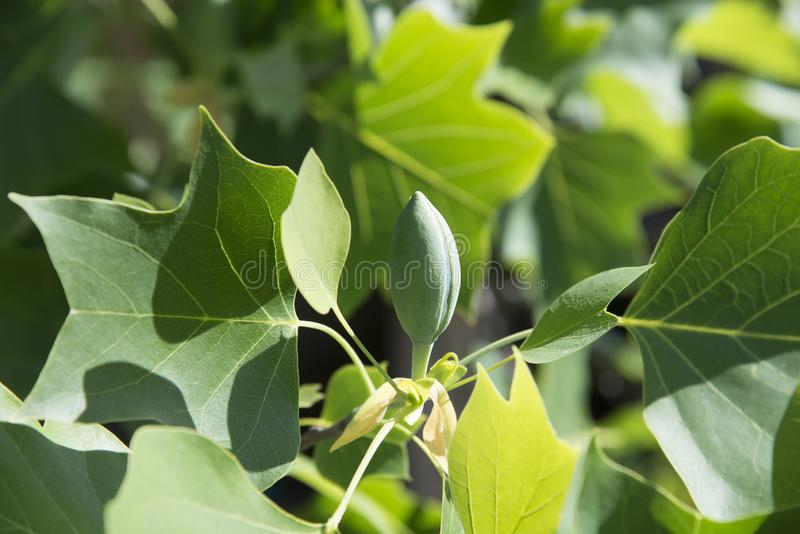 Flower buds of tulip tree stock photography