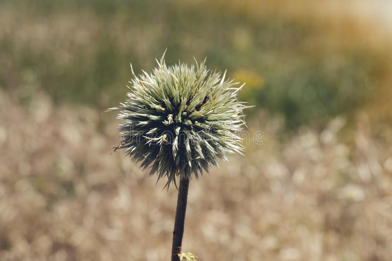 Flower buds of Great globe-thistle or Echinops sphaerocephalus close-up. royalty free stock images