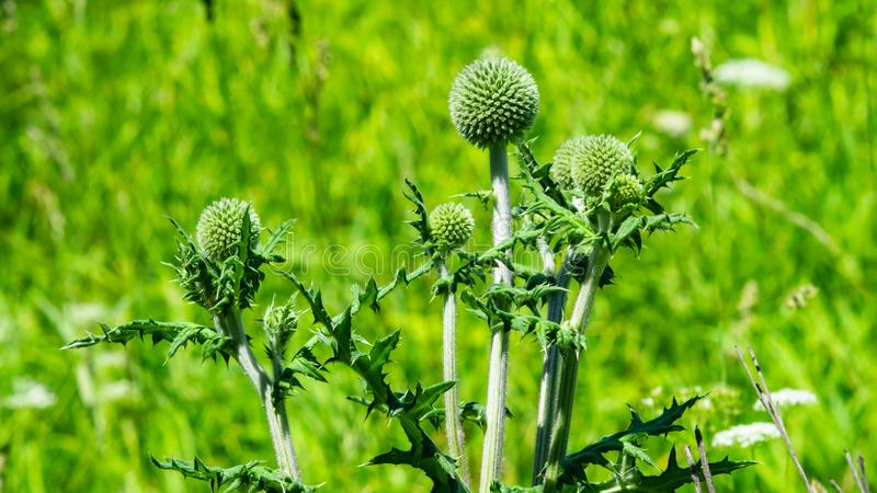 Flower buds of Great globe-thistle or Echinops sphaerocephalus in weed close-up, selective focus, shallow DOF stock images