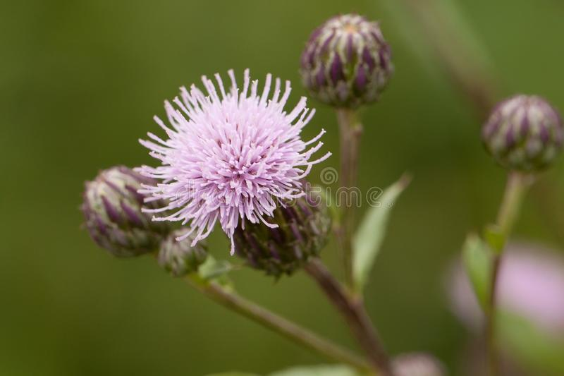 Flower and buds of milk thistle blooming in the woods royalty free stock photos