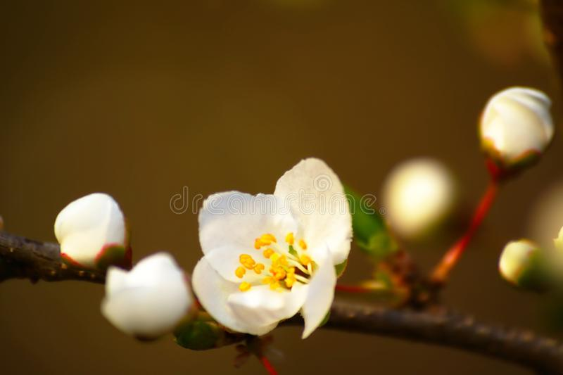 Flower And Buds In Spring royalty free stock photos