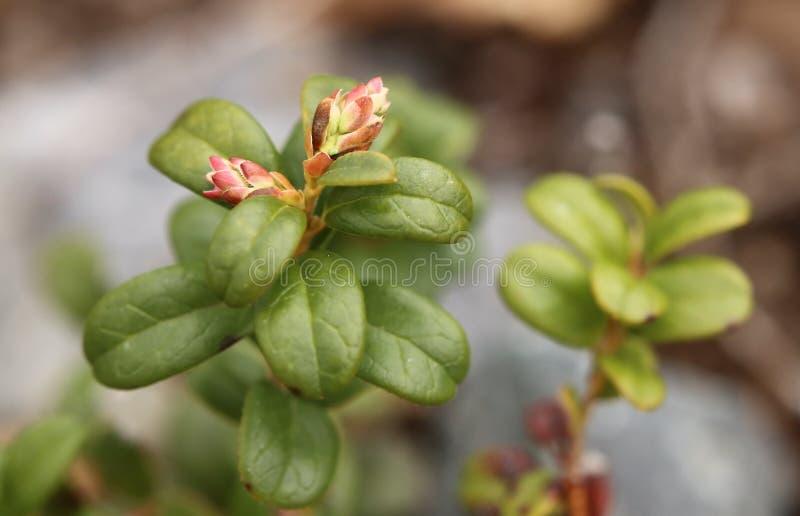 Flower buds of Vaccinium vitis-idaea, the lingonberry royalty free stock photos