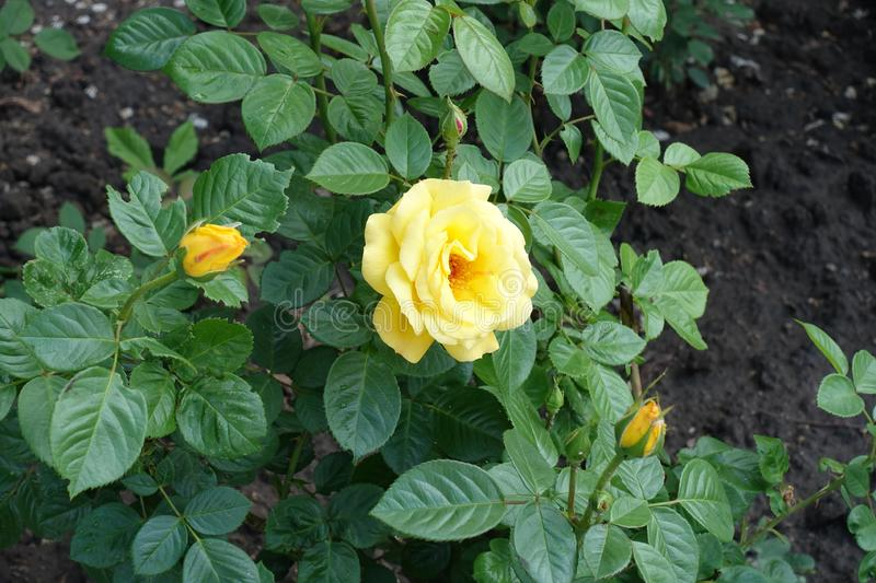 Flower and buds of yellow rose in May. Flower and buds of yellow garden rose in May royalty free stock photo