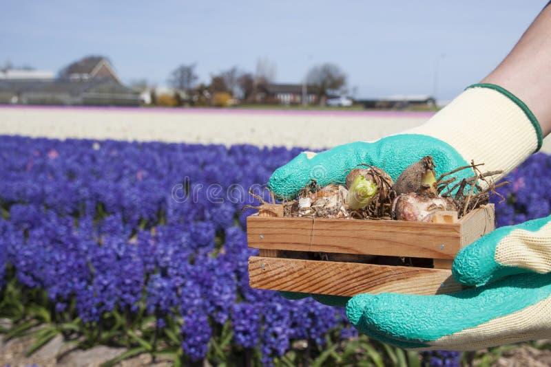 Flower bulbs stock images