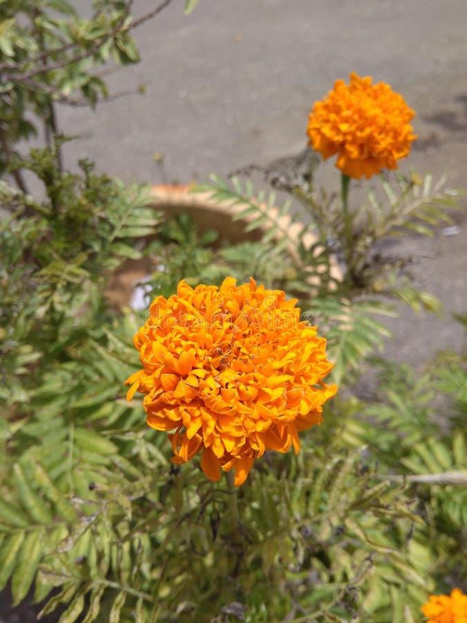 Flower - Bunga Tahi Ayam royalty free stock image