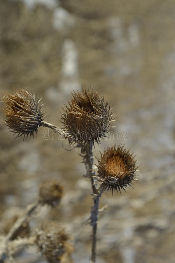 Flower burdock plant prickly dry grass royalty free stock photography
