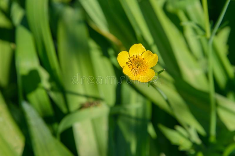 Flower of the Buttercup acrid. Photographed on a background of green grass royalty free stock photography