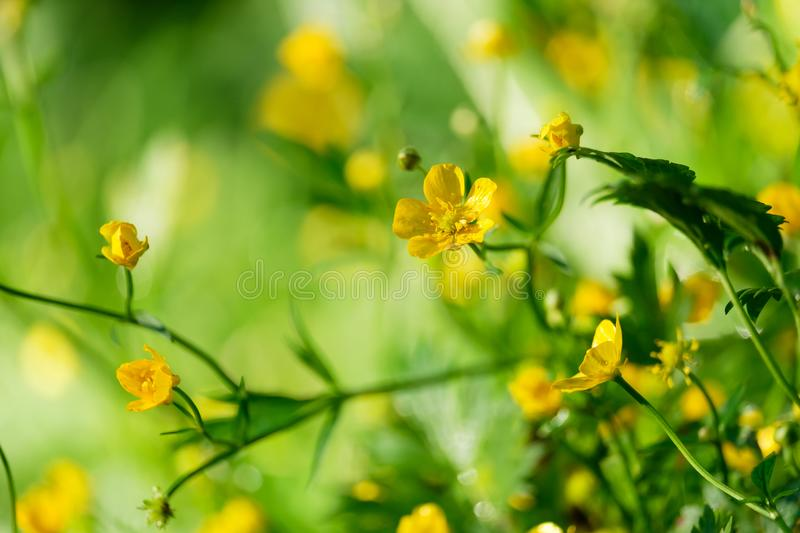 Flower buttercup close up. With a blurred background royalty free stock photos