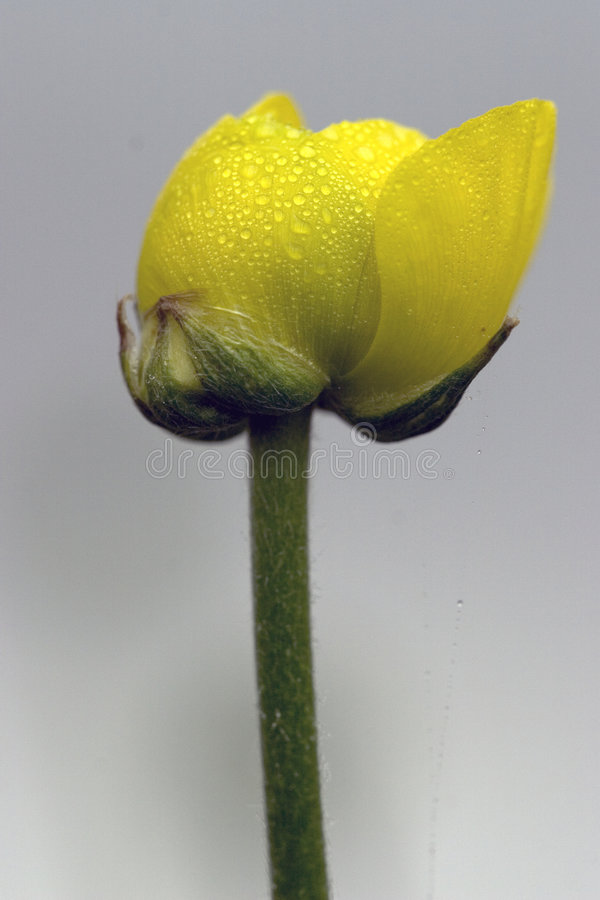 Free Flower Buttercup With Water Droplets Stock Images - 1291364