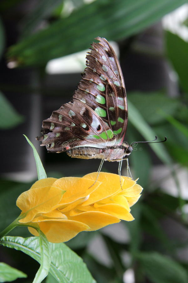 Flower Butterfly royalty free stock image