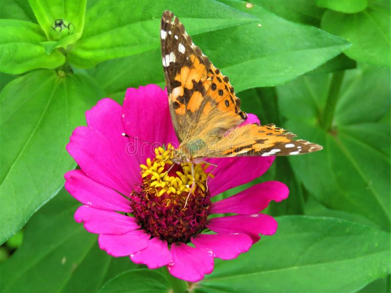 Flower, Butterfly, Brush Footed Butterfly, Moths And Butterflies royalty free stock image