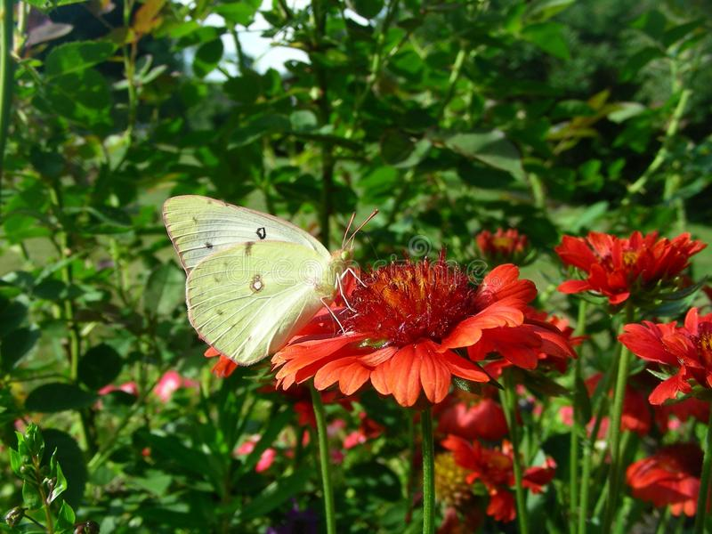 Flower, Butterfly, Brush Footed Butterfly, Moths And Butterflies stock images
