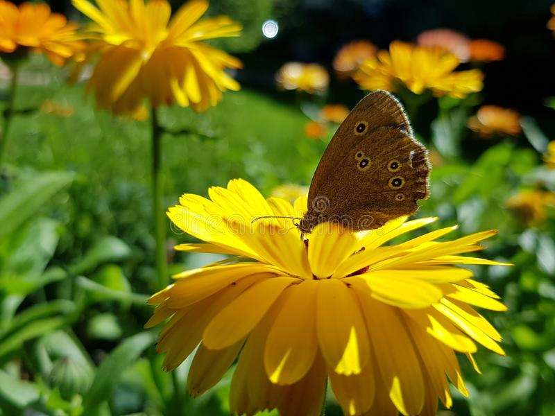 Flower, Butterfly, Yellow, Moths And Butterflies stock images