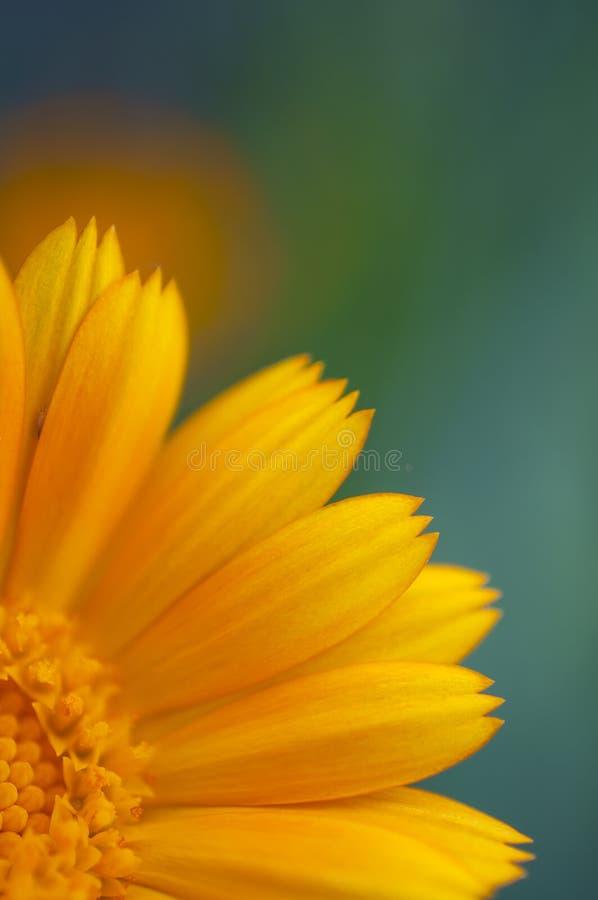 Free Flower Calendula Blurred Macro Colored Background Royalty Free Stock Photo - 139923355