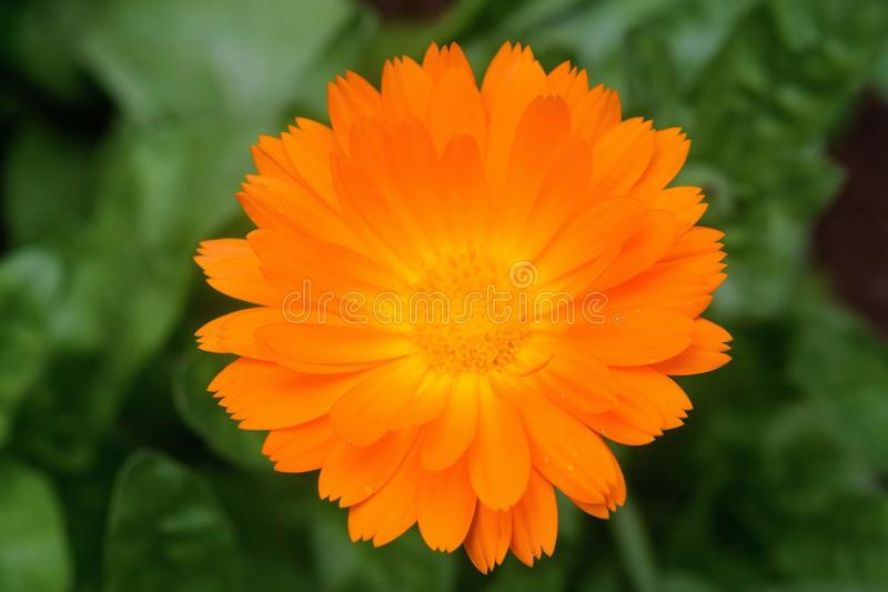 Flower of Calendula officinalis royalty free stock images