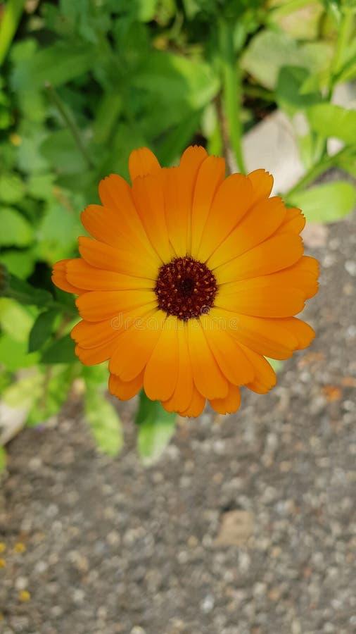 Flower calendula stock photos