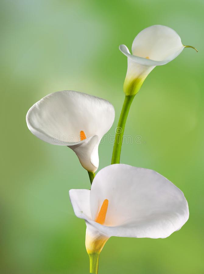 Flower calla stock photography