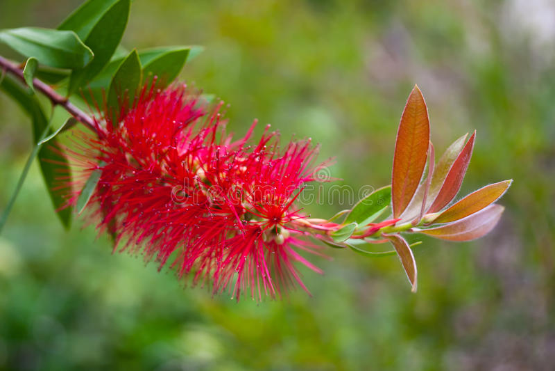 Flower of callistemon laevis. royalty free stock image