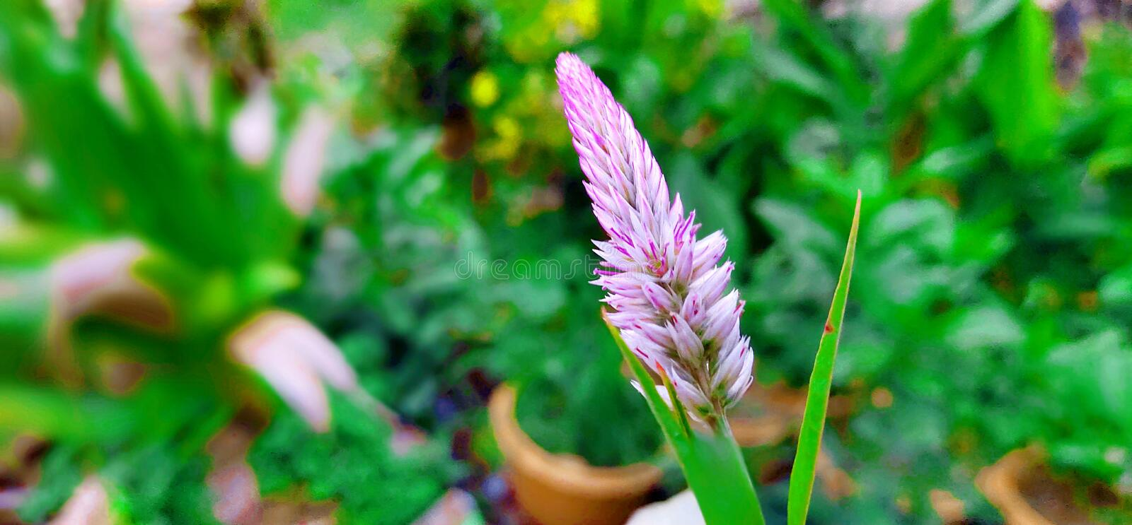This is the flower of Cambodia. Whiteflower, thereare, nonotatall stock photography