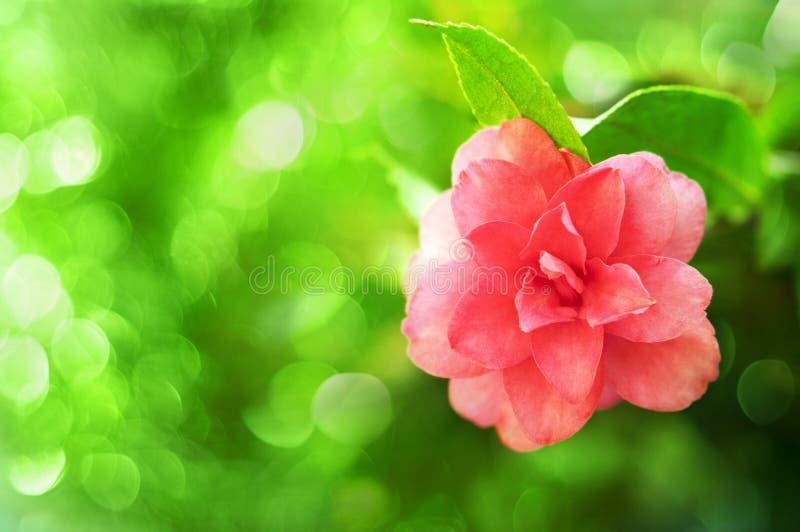 Flower of camellia stock photo