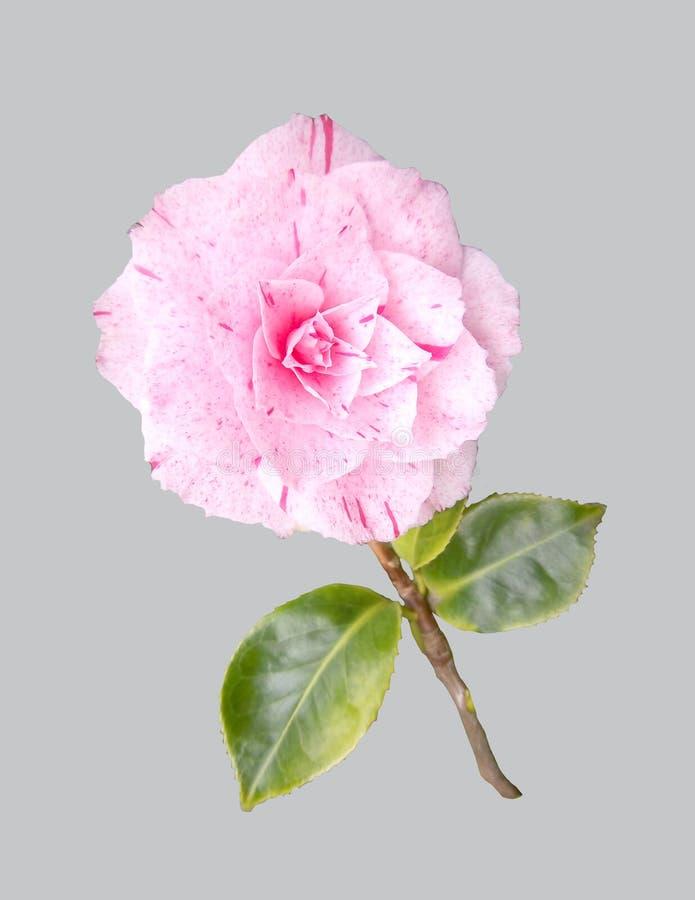 Flower of camellia. stock image