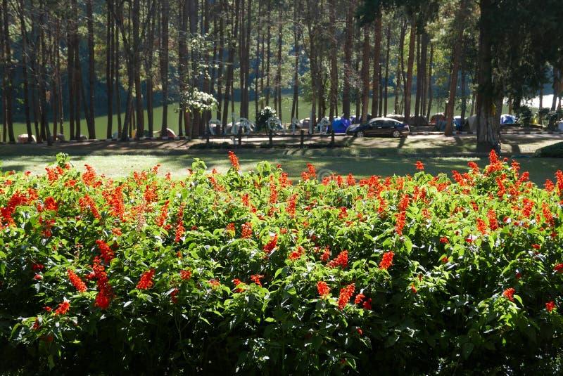 Flower and camping at Pang Ung royalty free stock photo