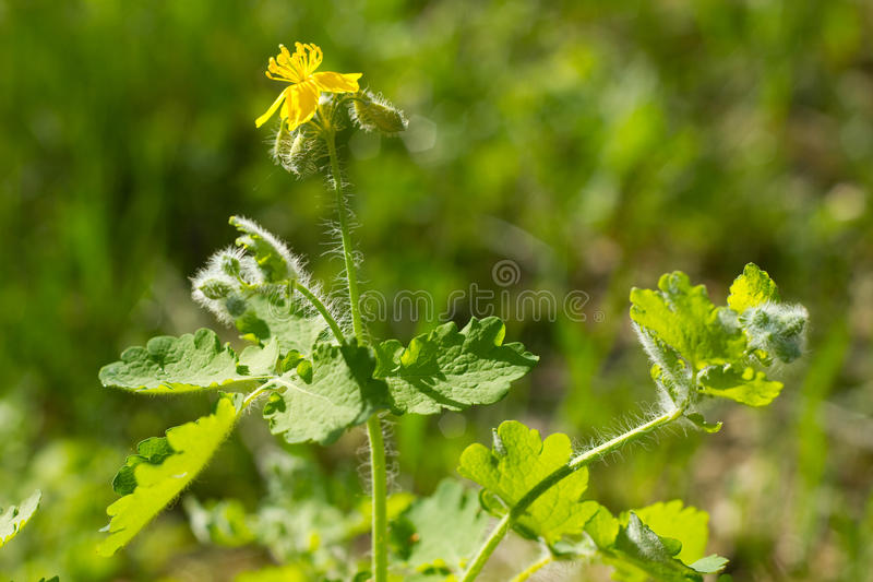 Download Flower of celandine stock image. Image of nature, haired - 30314147