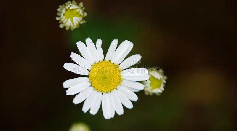Flower, Chamaemelum Nobile, Oxeye Daisy, Flora royalty free stock images