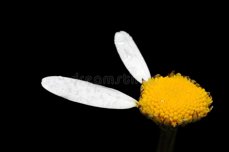 Flower Of Chamomile. Stock Photos