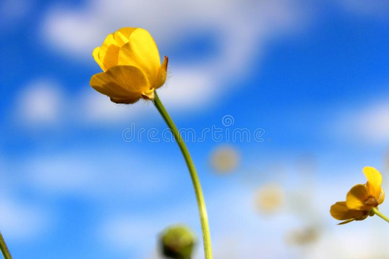 Flower `Chicken Blindness` royalty free stock images