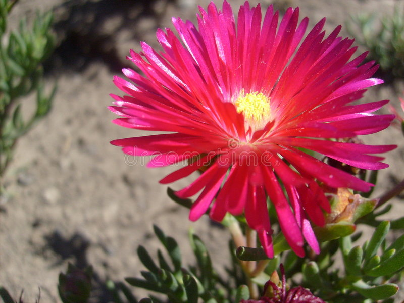 Flower of Chile stock photography