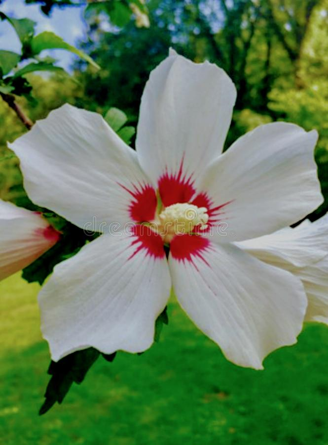 China rose flower. The white china rose stock image