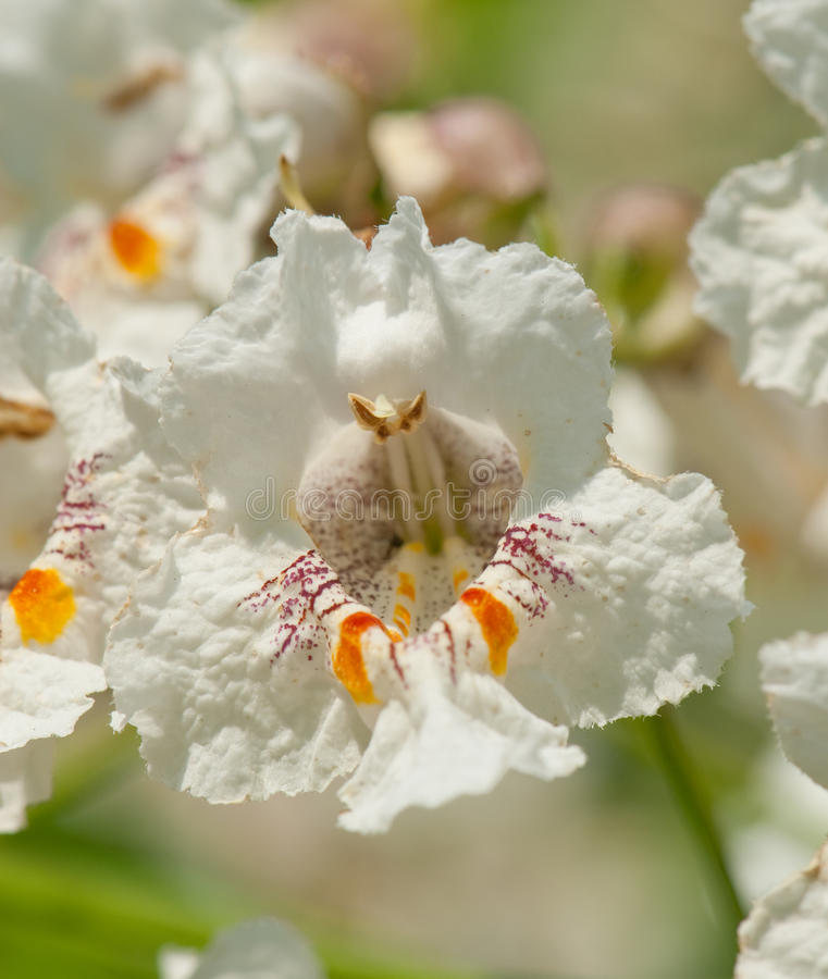 Download Flower of a Cigar tree stock photo. Image of bignoniaceae - 18285982